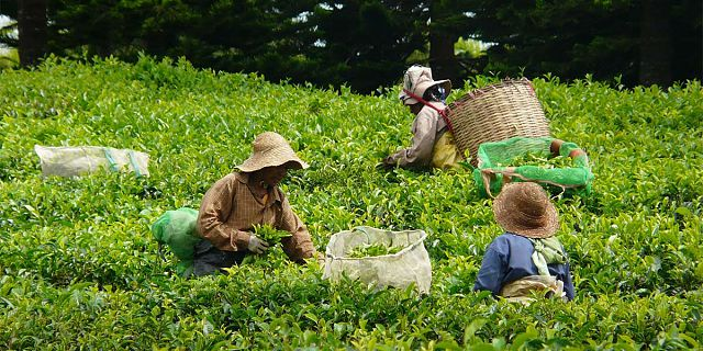 Bois cheri tea factory (2)