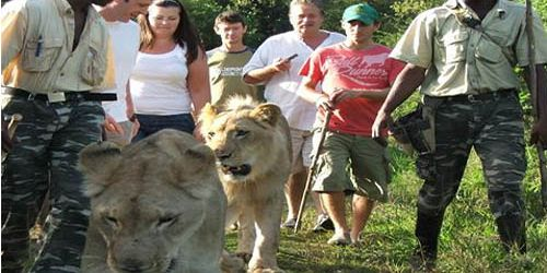 33mauritius walking with lions