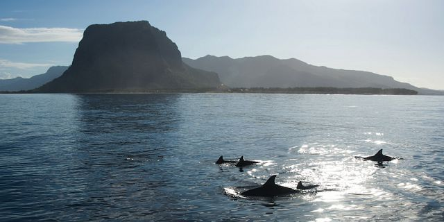 Dolphins swimming mauritius