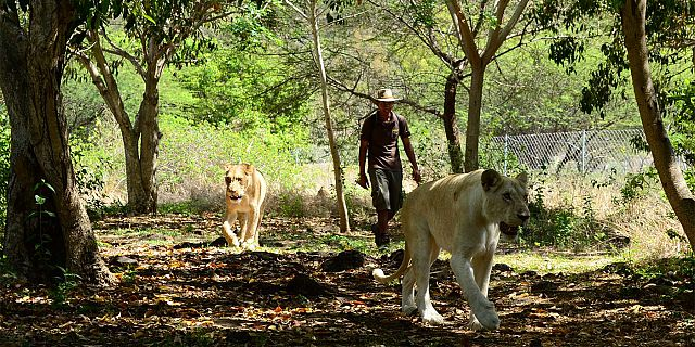 Lions in mauritius