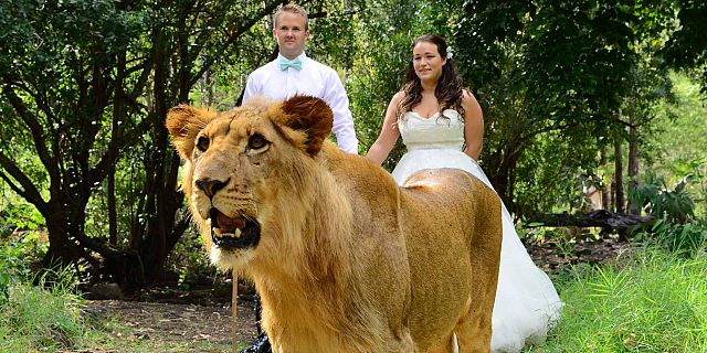Private wedding with lions mauritius
