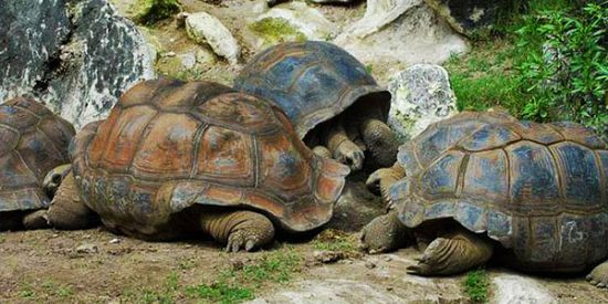 Visit Of The Giant Tortoises Park (Rodrigues)
