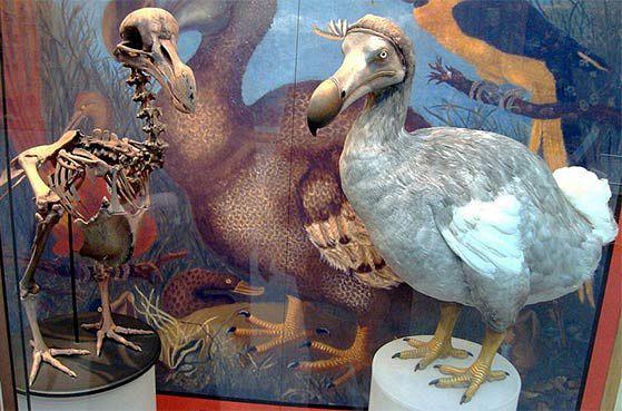 Mauritius Dodo Bird