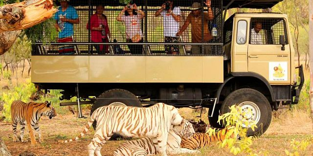 Big cats drive thru in mauritius casela park (14)